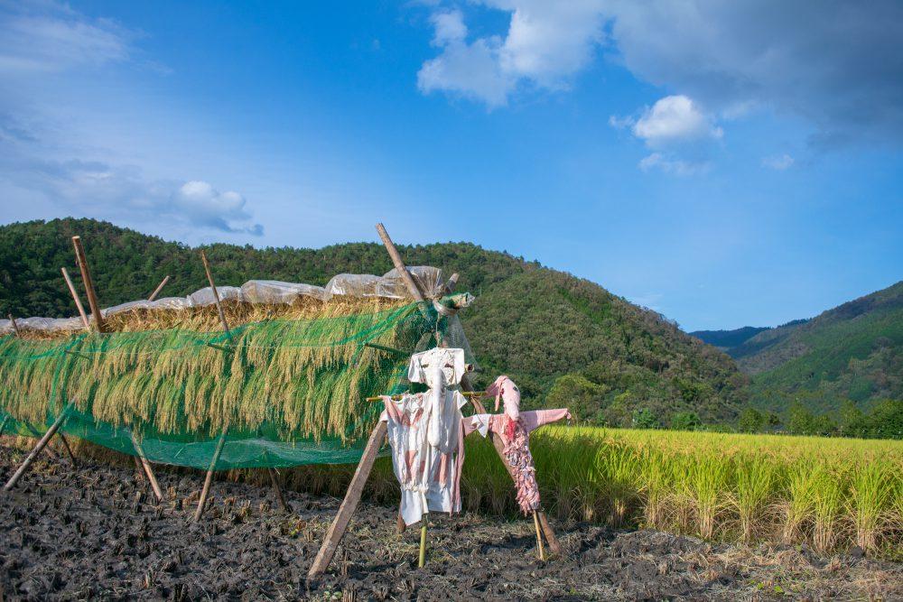 稲刈り、かかし